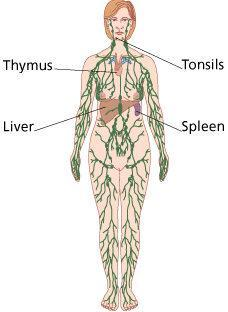 The Lymphatic System Network of vessels and organs Lymphatic vessels Pick up excess fluid, proteins, etc.
