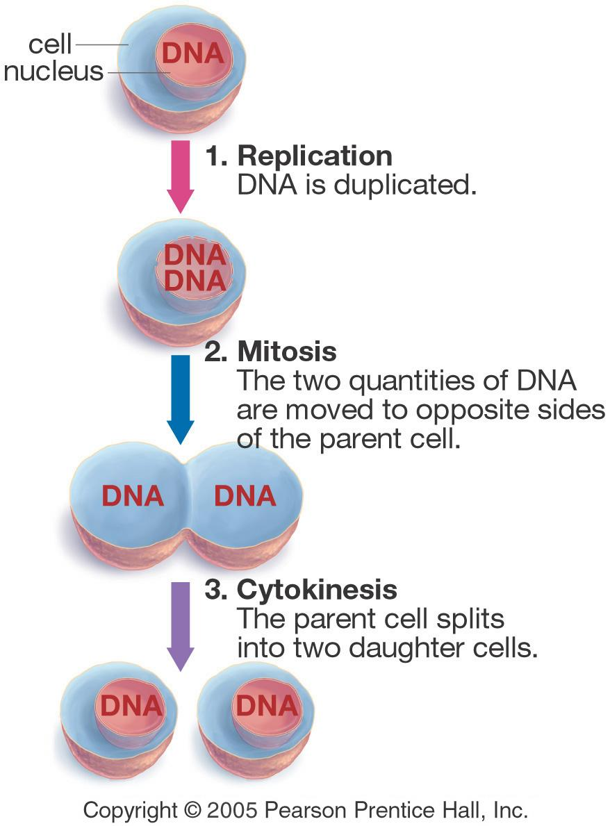 Genes, Mitosis and Cytokinesis The three main components of the cell cycle.