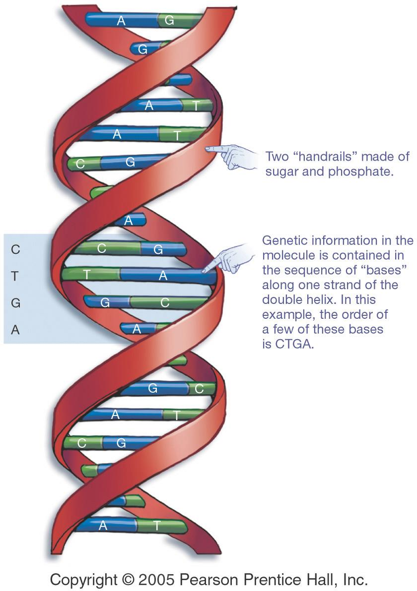 Genes, Mitosis and Cytokinesis 12/17/14 DNA and Its Faithful