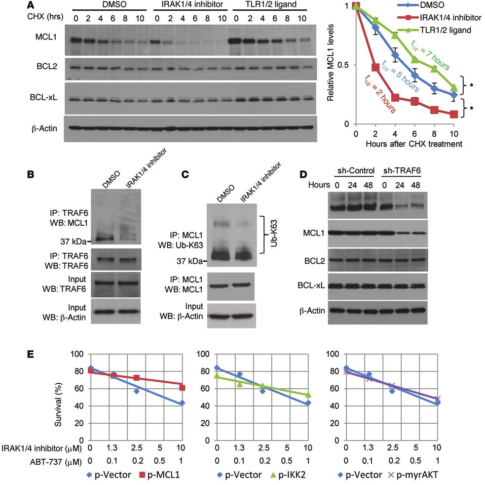 Figure 8. IRAK4/1 signaling impacts MCL1 protein stability, and MCL1 interacts with TRAF6. (A) CCRF-CEM cells were treated with IRAK1/4 inhibitor (5 μm) or DMSO for 6 hours.