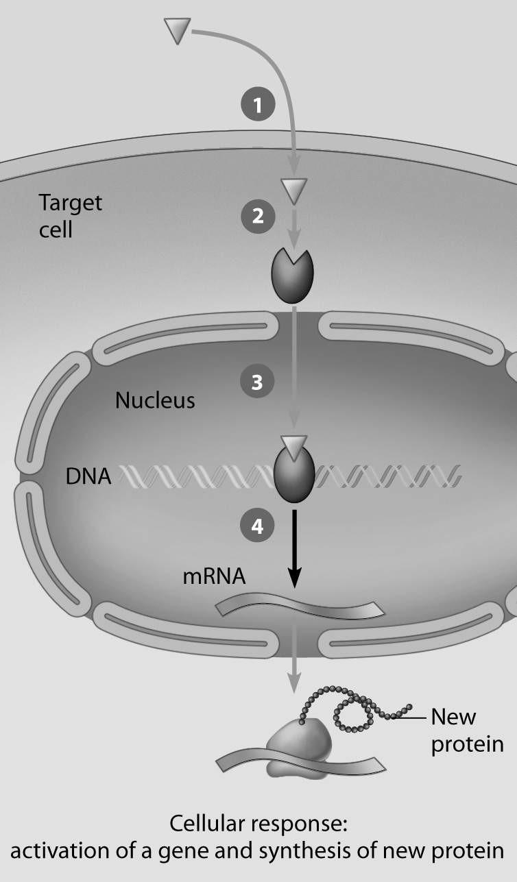 2) Which step in this figure portraying lipid-soluble hormone action shows transcription in response to