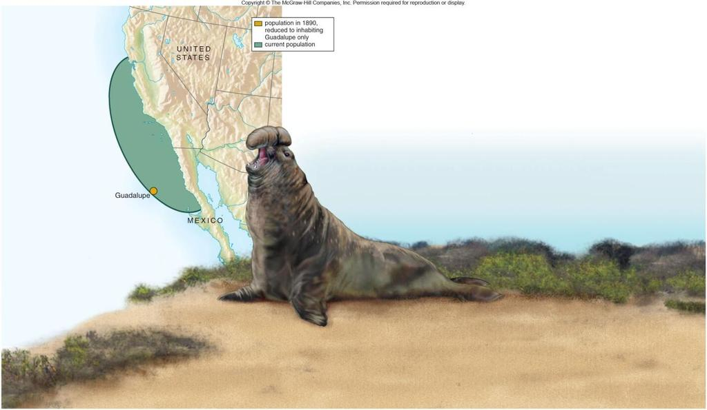 Northern Elephant Seal Bottleneck case study Nearly hunted to extinction in 19 th century As a