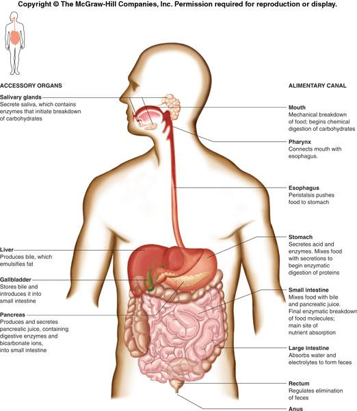 The Digestive System Consists Of An Alimentary Canal And Several