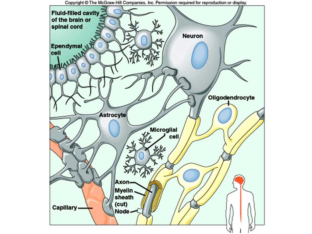 Structure of System Central Nervous System (CNS) Brain and Spinal Cord Peripheral Nervous System (PNS) Nerves leading to/from CNS and body General Functions of Nervous System Sensory Receive