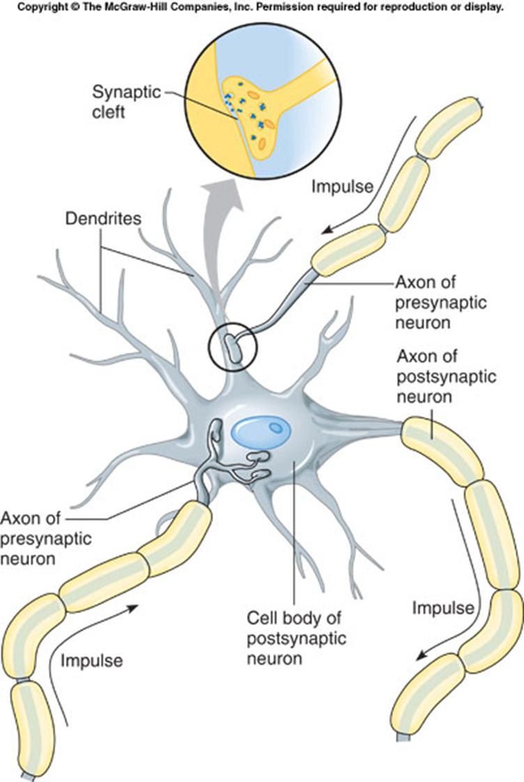 02/10/15 Ch. 9 Nervous System 33 Objective: Students will be able to describe the actions that lead to a nerve impulse, and how information is passed from one neuron to another.