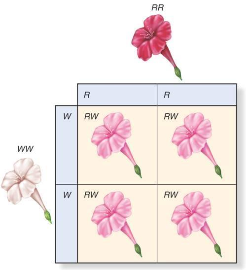 Beyond Dominant and Recessive Alleles A cross between red (RR) and white