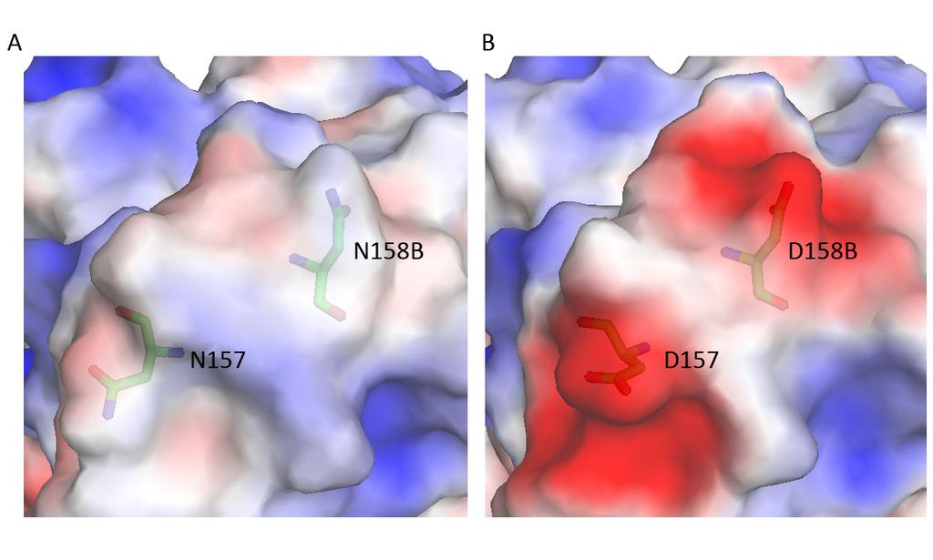 Figure S3. Surface representation analysis of the escape mutants N157D and N158BD of Sh2/H7 HA to antibody H7.167. (A) Electrostatic potential surfaces (red, negative, 5.4 kt; blue, positive, +5.
