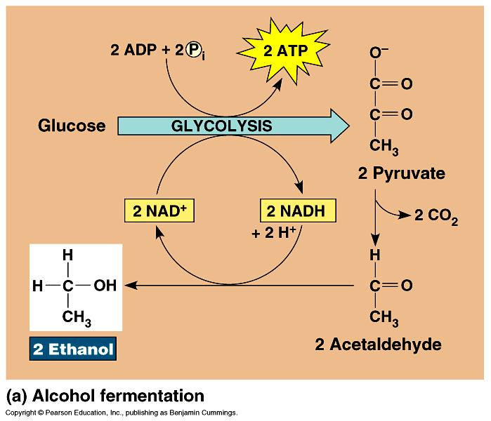 Alcohol Fermentation: pyruvate ethanol + CO 2 3C 2C 1C NAD + back to glycolysis Dead end process