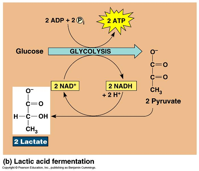 Lactic Acid Fermentation: pyruvate lactic acid 3C 3C NAD + Reversible process once O 2 is available, lactate