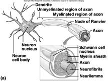 Myelination of Axons Classification of Neurons Structural Differences White Matter contains myelinated axons Gray Matter