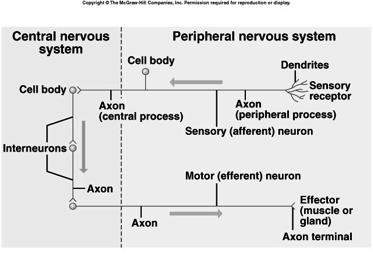 efferent multipolar carry impulses away from CNS carry impulses to effectors 9 in the PNS Schwann Cells produce myelin found