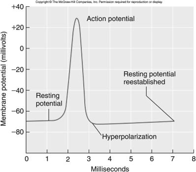 cytoplasm and membrane repolarizes 19 20 All-or-None Response Refractory Period if