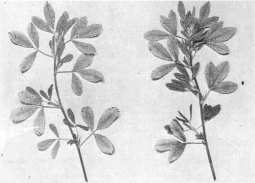 156 NEW ZEALAND J OURNAL OF AGRCULTURAL R ESEARCH (APRL Fig. 2.-Symptoms of potassium deficiency in lucerne. n suckling clover (Trifolium dubium ) and lucern e (Fig.