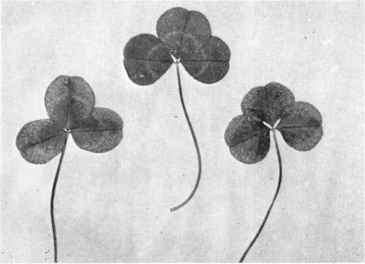 1958) \1cNAUGHT-POTASSUM DEFCENCY 155 Fig..-Symptoms of potassium deficiency white clover (top leaf normal). Deficiency Symptoms Typical symptoms in white-clover leaves are illustrated in Fig. 1. Symptoms first appear on the mature leaves, the youngest remaining healthy.
