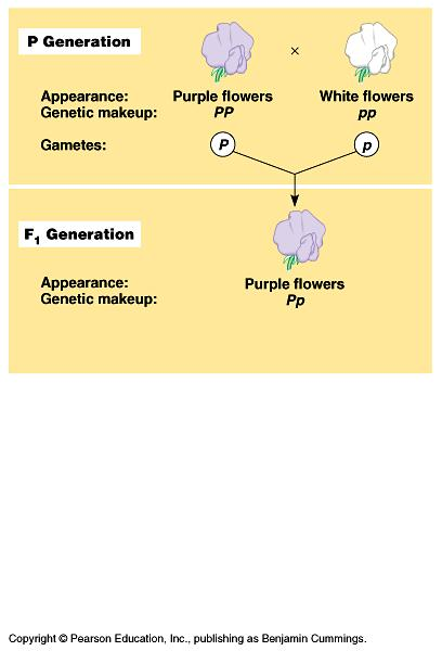 Mendel explains this ratio of inheritance with 4 related ideas: 1) versions of genes account for variation. For example, purple versus white flower color. The alternate versions of genes are called.