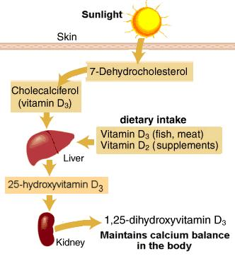 Vitamin D Stimulated by PTH and low serum