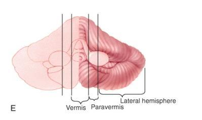 the cerebellum can be divided into sections:
