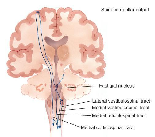 Spinocerebellar System Fastigial nuclei (vermis) Vestibular nuclei Vestibulospinal, reticulospinal and medial corticospinal tracts Spinal cord (trunk), vestibular