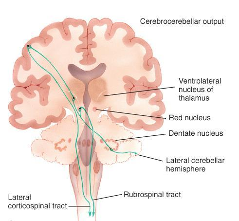 Cerebrocerebellar System - Lateral cerebellum Dentate nuclei Red nucleus, VL of thalamus Cerebral cortex via pontine nuclei Motor and premotor via thalamus Rubrospinal tract Lesions cause: