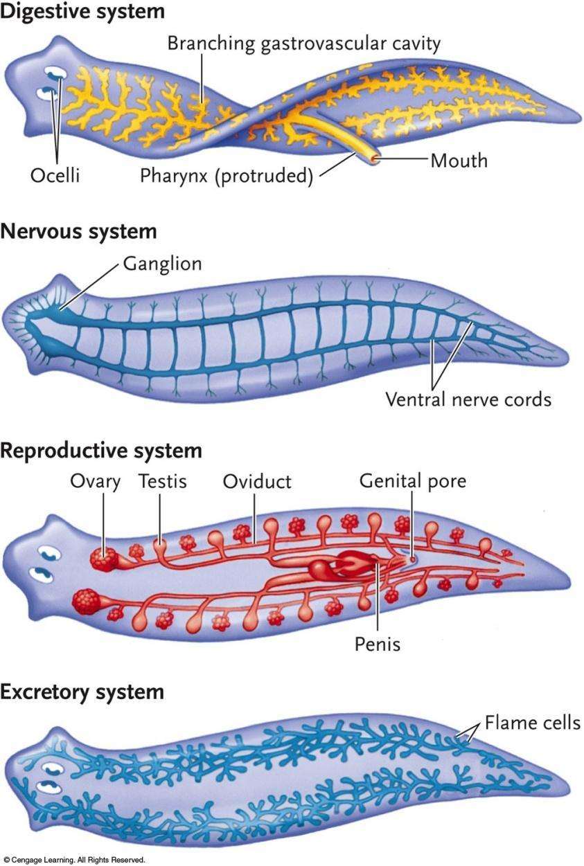 Organ systems Incomplete Y-shaped gut Ladder-like nervous system w/2 anterior ganglia Reproductive system well
