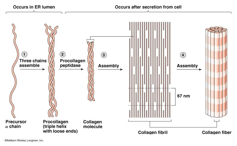 Summary Matrix of macromolecules in the extracellular space- ECM. ECM is secreted by cells that live within the tissue. Physical nature of ECM also varies from tissue to tissue.