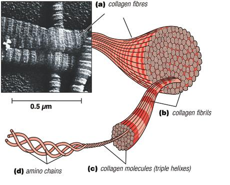 peptidase cleaves ends to form collagen Collagen