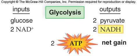 converts glucose to pyruvate (occurs in cytoplasm) Preparatory (prep) Reaction (transition reaction)- pyruvate