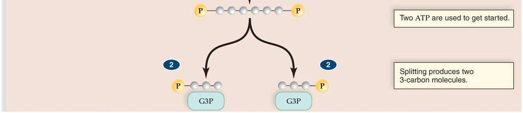 a single glucose (6C) into two PGAL (3C each) PGAL restructured into pyruvate Oxygen not required in this step 2ATP