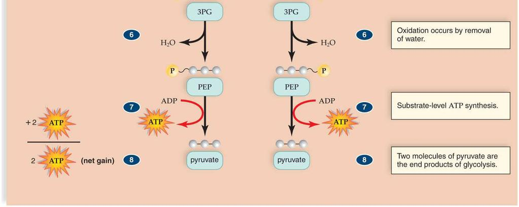 pyruvic acid moves into the matrix of the mitochondrion.