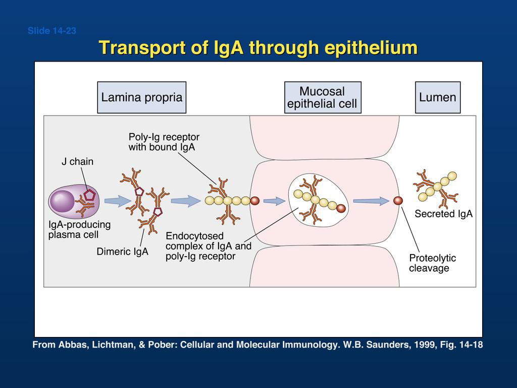 The poly-ig receptor is a special Fc receptor that selectively binds dimeric IgA The process of transporting IgA across the cell is known as transcytosis The IgA released