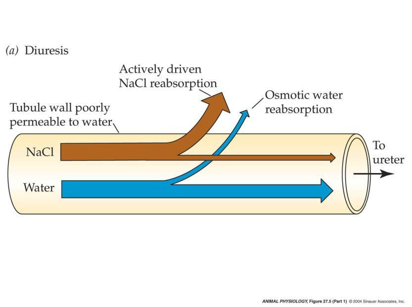 The distal convoluted tubule can differentially reabsorb water and solutes, controlling