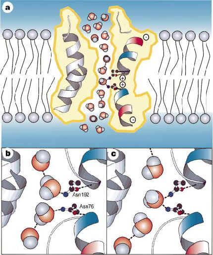 Aquaporin a: partial charges from the helix dipoles restrict the