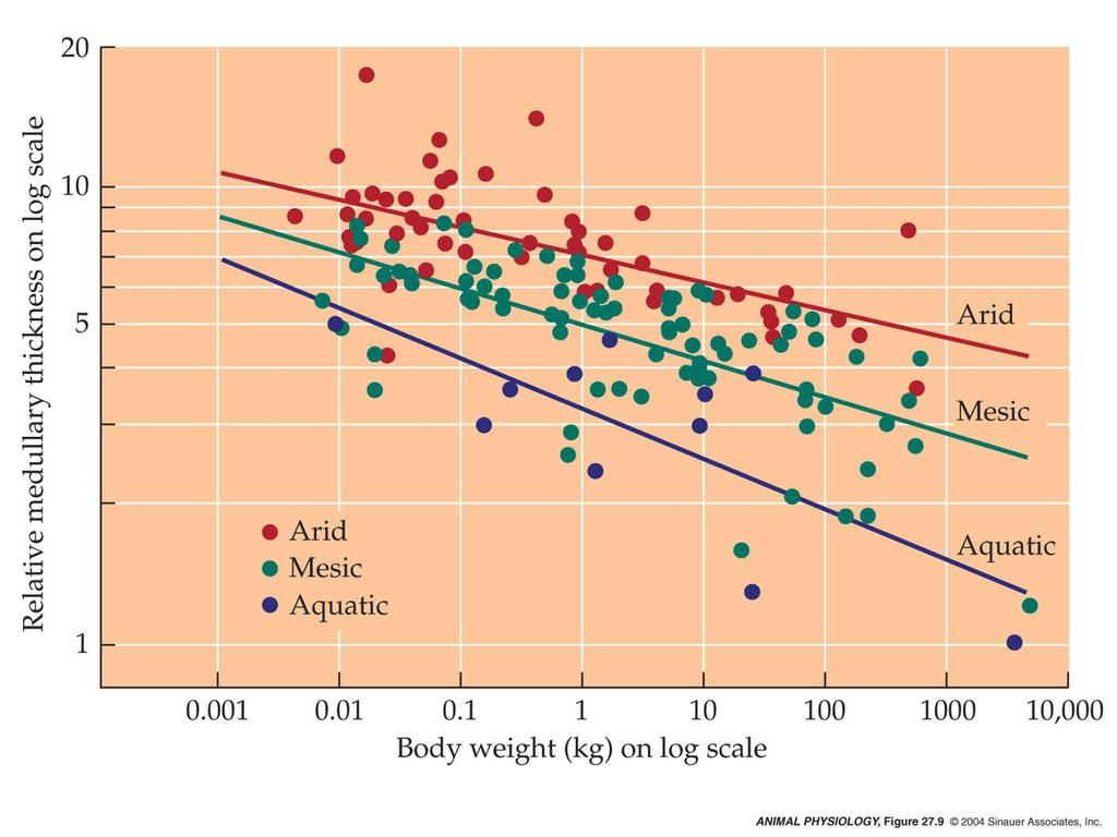 The relation between relative medullary thickness and body size