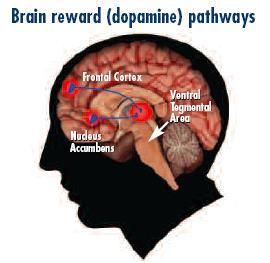 Brain Reward and Substance Use The brain reward system shapes human behavior Alcohol, nicotine, marijuana, and other drugs reward