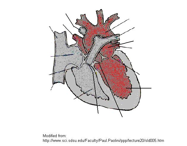 Biology 1442 Supplemental Instruction Worksheet Cardiovascular System Jacaruso - 5-37. Flow of blood. Label the vessels and heart structures (underlined words) involved in flow of blood.