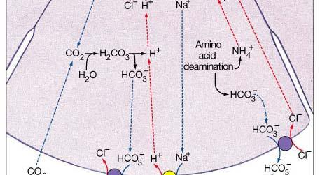 DCT 14c Reabsorption and secretion along the