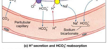 by aldosterone and ADH Reabsorption Sodium ion,