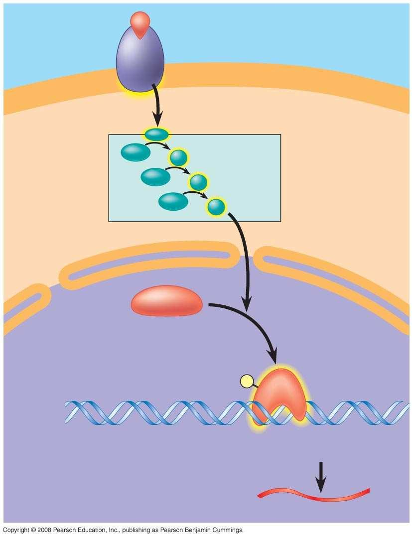 Fig. 11-14 Growth factor Receptor Reception Phosphorylatio n cascade Transduction