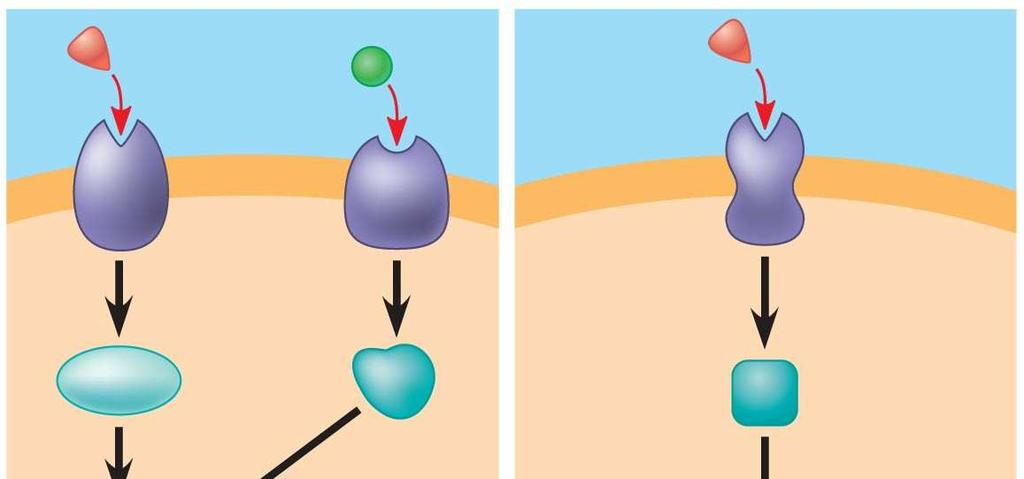 Fig. 11-17b Activation or inhibition