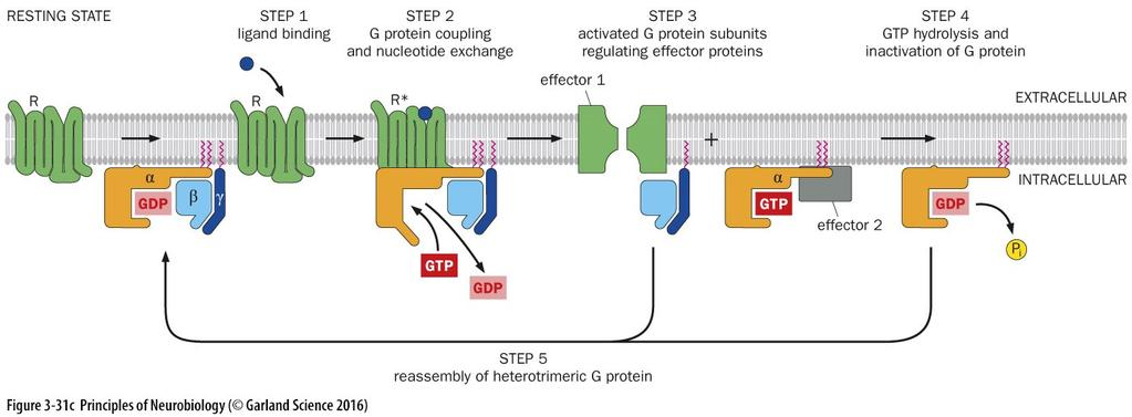Example of how activation of GPCRs leads