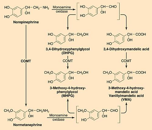 Catecholamine Inactivation MAO AR