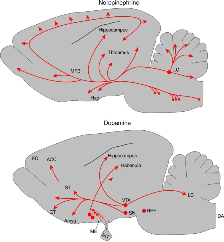 Localization of catecholaminergic neurons in the rodent brain