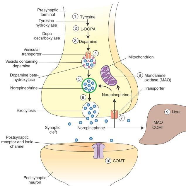Physiology of Noradrenergic transmission Neurotransmission NET AAADC Critical step in