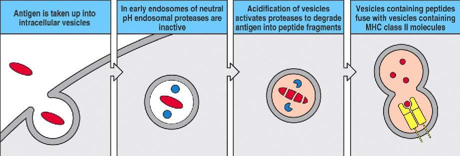 Class II peptide loading from peptides produced by lysosomal degradation of an endocytosed organism Class II loading is centered in the vesicular system Acidic endosomal proteases digest ingested