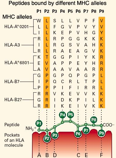Key Concept The molecules encoded by each MHC allele differ in their amino acid sequence around the anchoring peptide binding pockets and each allelic molecule binds a different set of peptides MHC