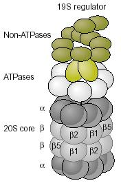of the proteasome catalytic core and
