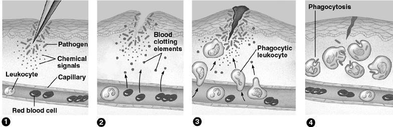 b) Eosinophils: defend against parasites (tapeworms, blood flukes) by attaching to their body wall & discharging destructive enzymes.