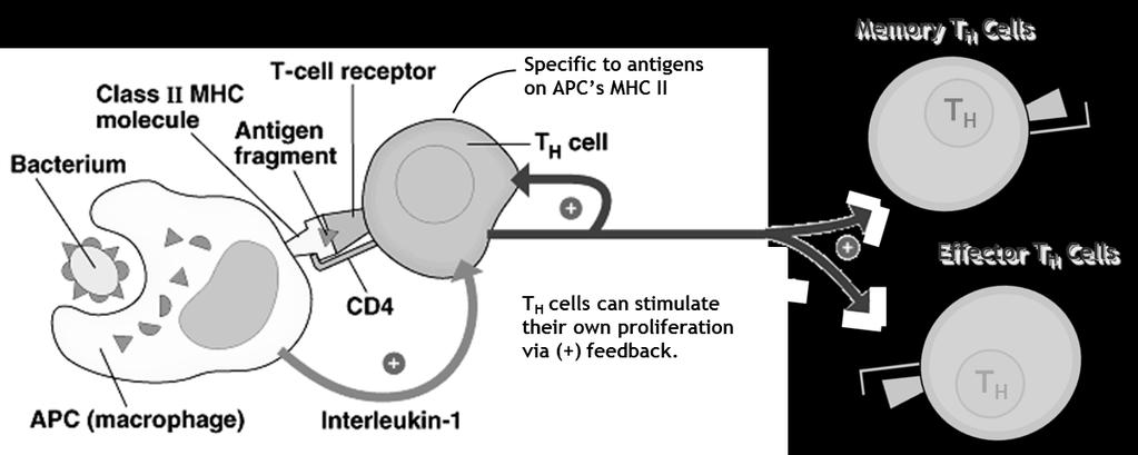 The Immune Response Figure 5: Initiation of Immune Response: Function of Macrophages (APC s) A pathogen is engulfed by a macrophage, upon which its antigens combine with class II MHC s that are