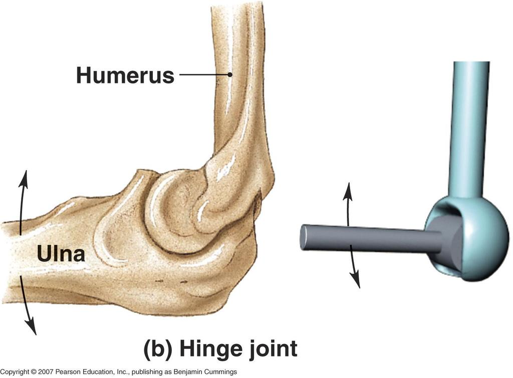 Hinge Joints In The Body Image Collections Human Anatomy Diagram