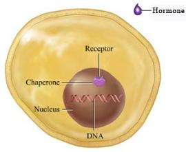 right. IP: Mechanism of Hormone Action: Direct Gene Activation Which of the following hormones has intracellular receptors?